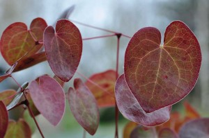 Leaves of Epimedium x rubrum