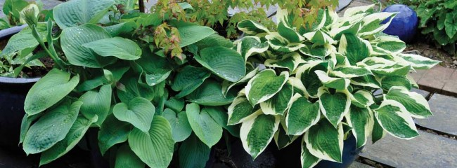 hosta-sieb-ele-and-patriot-in-pots