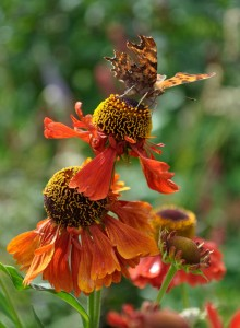 Comma butterfly on Helenium 'Moerheim Beauty'