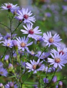 Aster cordifolia 'Little Carlow'